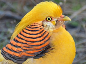 yohanes-chandra-ekajaya-cara-mudah-beternak-yellow-pheasant
