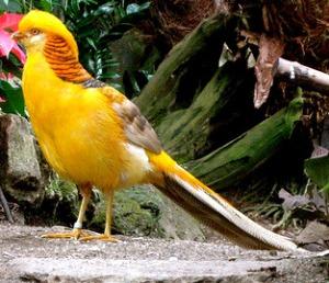 yohanes-chandra-ekajaya-pheasant